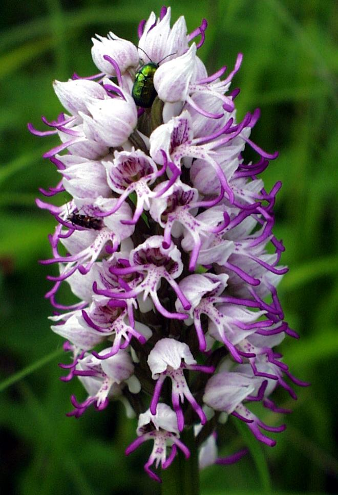 Orchis simia